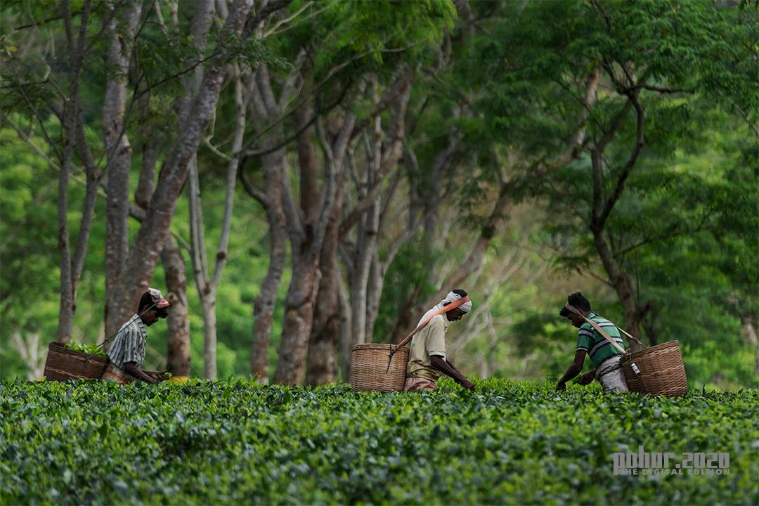 Northeast_SangibKumarBarman_Assam Tea