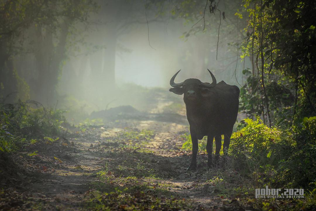 WonderOfTheWild_NeerajBora_Buffalo In The Mist