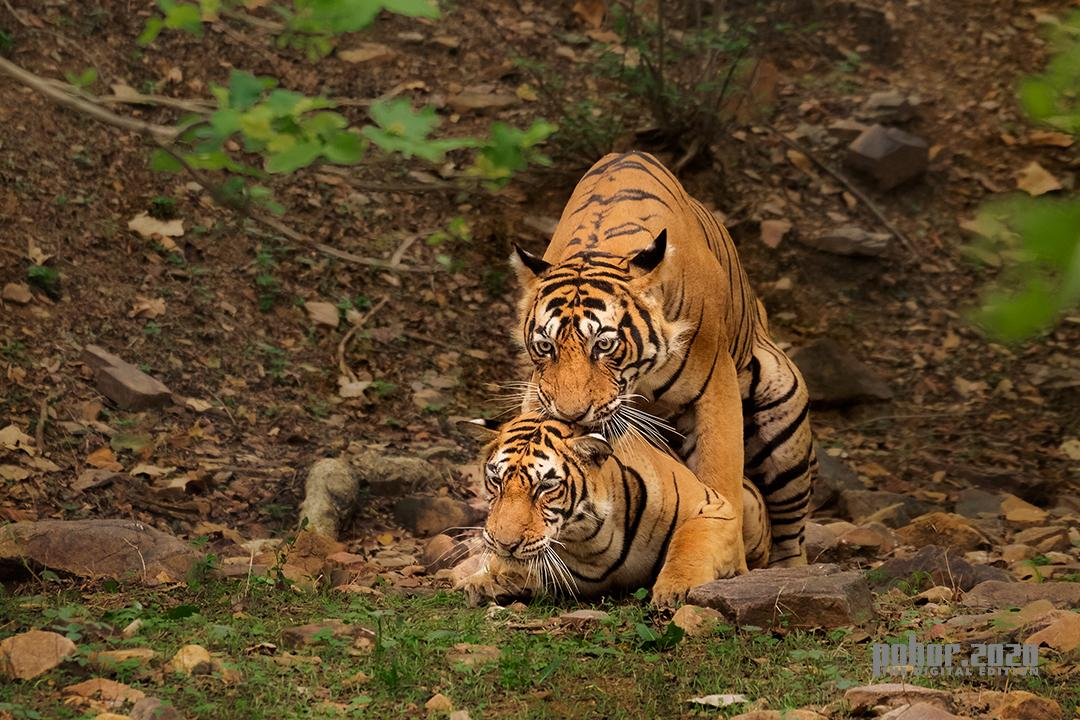 Wonders of the Wild_ Anupam Chakraborty_The Mating Tigers