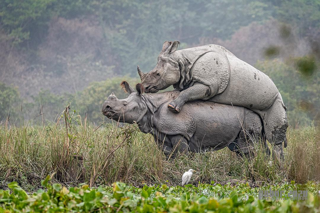 Wonders of the Wild_Abhijeet Kumar Banerjee_Rhino Mating