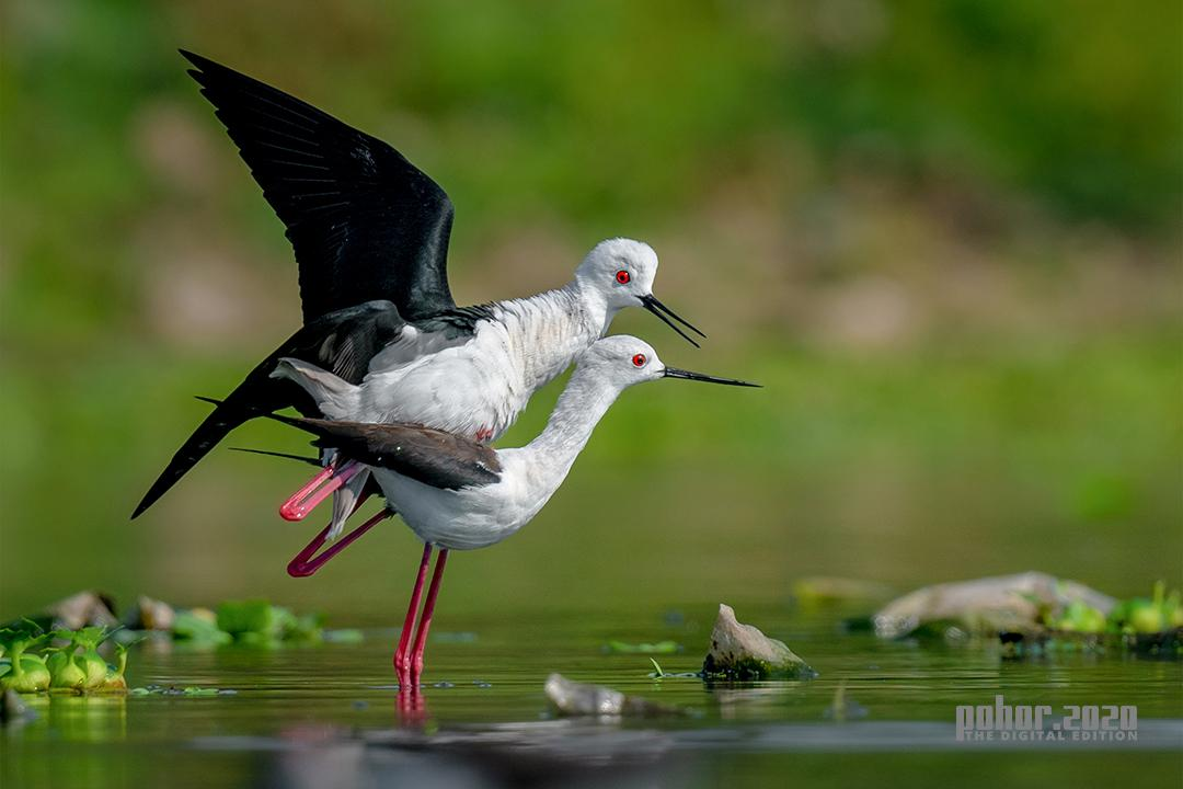 Wonders of the Wild_Anindita Datta Muhuri_Mating Stilts