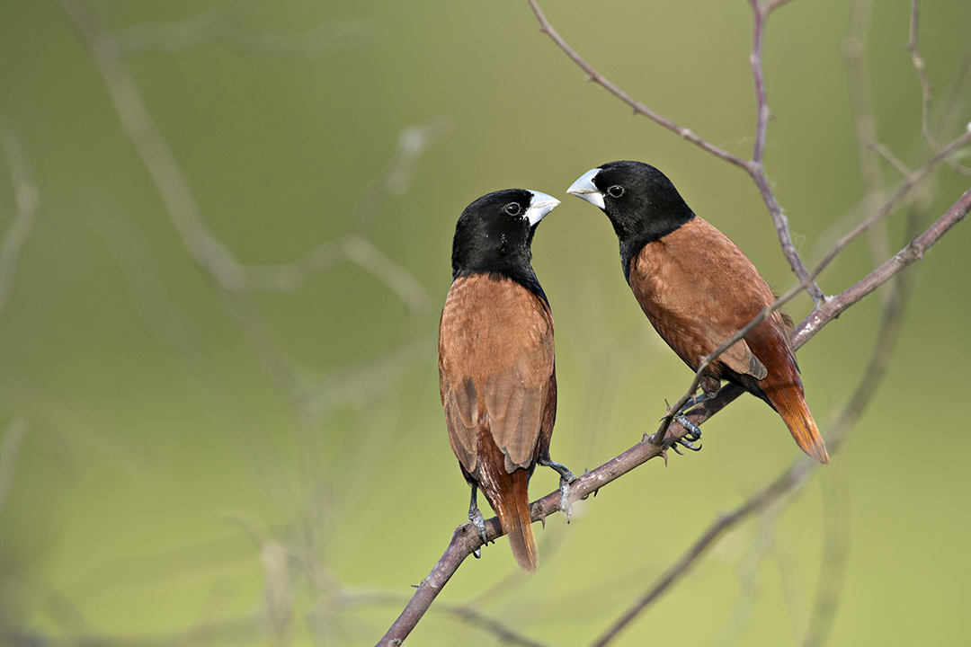 Wonders of the Wild_Ashok Kumar Das_BLACK HEADED MUNIA