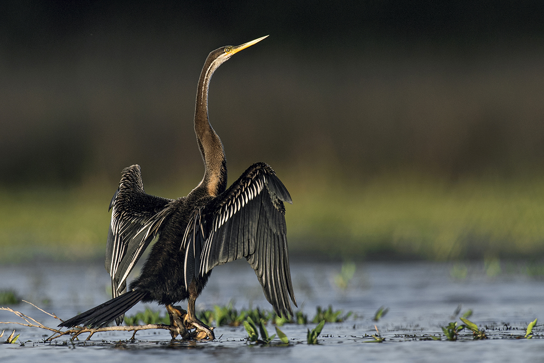 Wonders of the Wild_Ashok Kumar Das_DARTER AT POBITORA