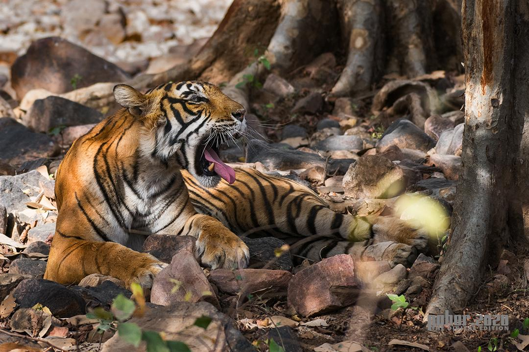 Wonders of the Wild_Bandana Bordoloi_Princess of Ranthambore