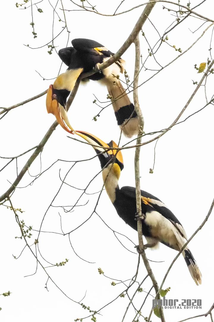 Wonders of the Wild_Bibha Baruah_Great Indian Hornbill