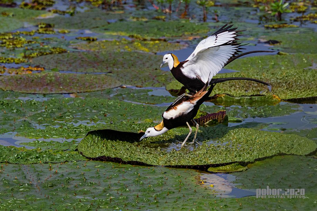 Wonders of the Wild_Binoy Bikash Gogoi_MATING JACANA