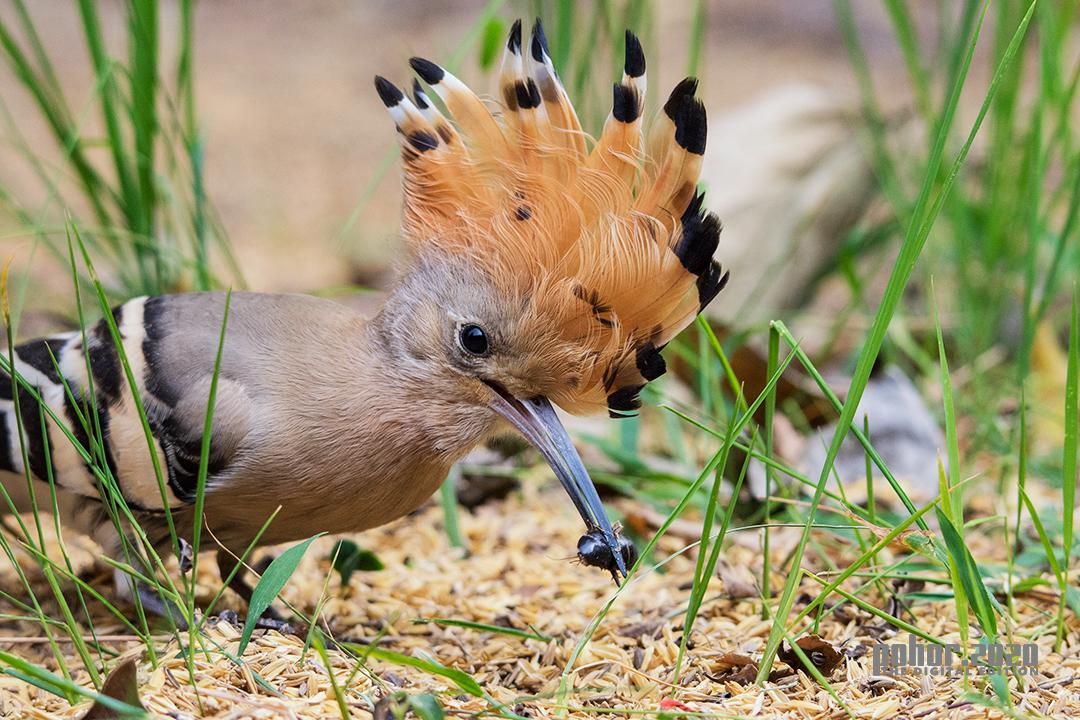 Wonders of the Wild_Chinmoy Swargiary_COMMOM HOOPOE WITH THE PREY