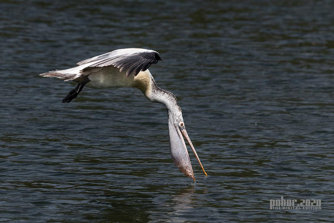 Wonders of the Wild_Dhiraj Chandra Das_Pelican Touch Down