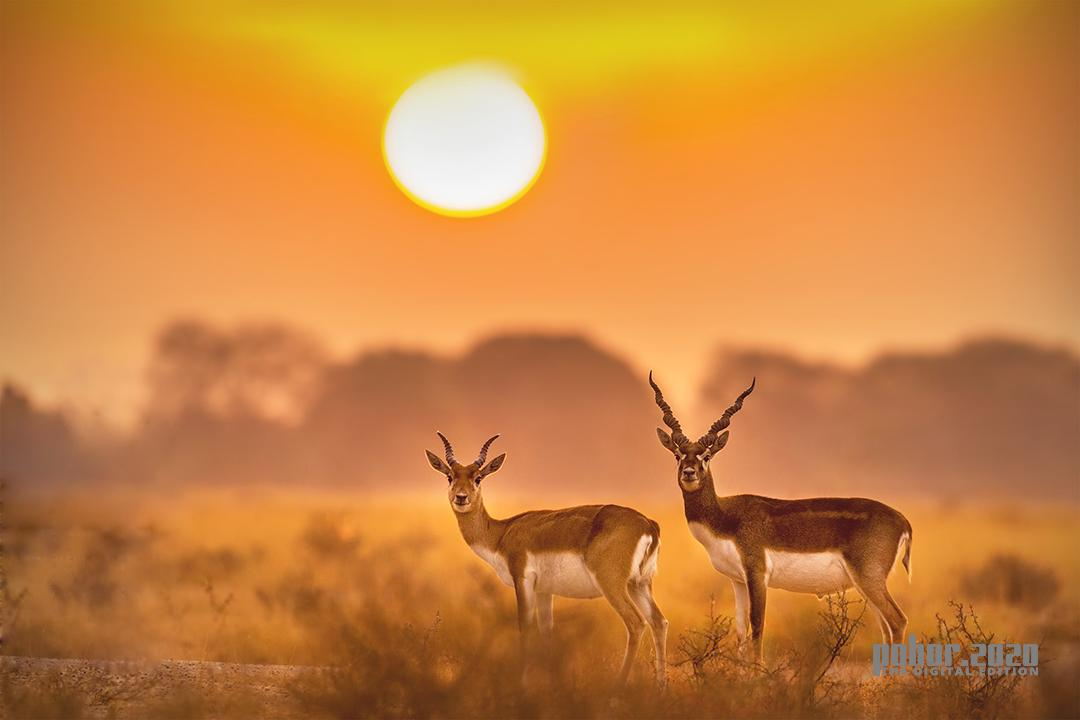 Wonders of the Wild_Henry B Nongrum_Black Buck
