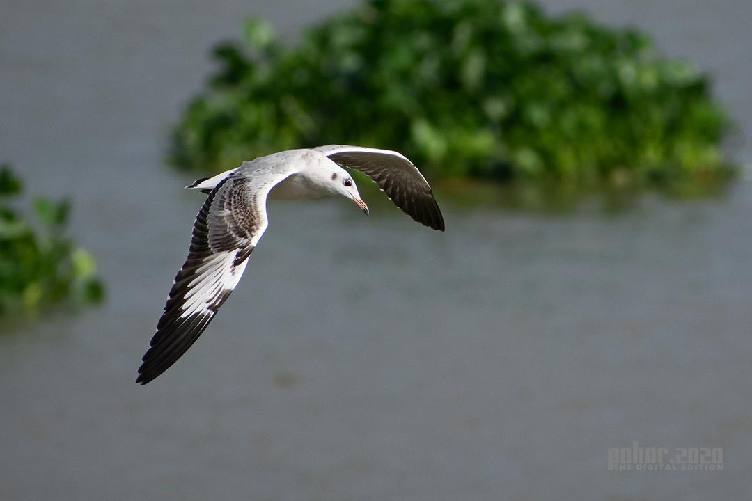 Wonders of the Wild_Maina Das_Brown Headed Gull