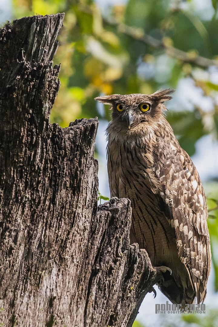 Wonders of the Wild_Mousumi Phukan_BROWN FISHING OWL