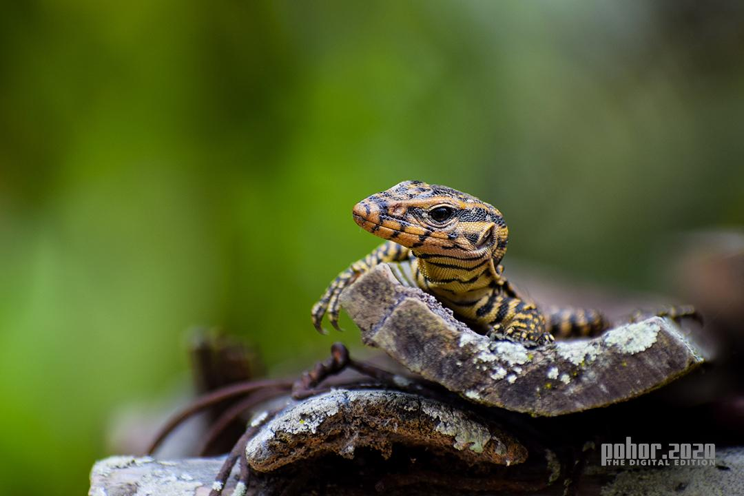 Wonders of the Wild_Mukul Sarma_Monitor lizard