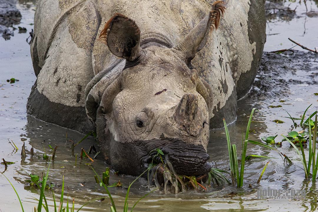 Wonders of the Wild_Neeraj Kumar Phookan_Rhino