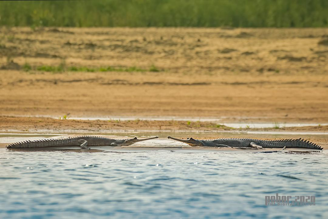 Wonders of the Wild_Nejib Ahmed_Critically Endangered Gharial