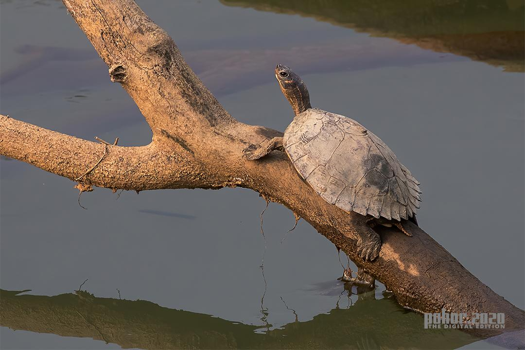 Wonders of the Wild_Ratnajit Choudhury_TURTLES AT KAZIRANGA