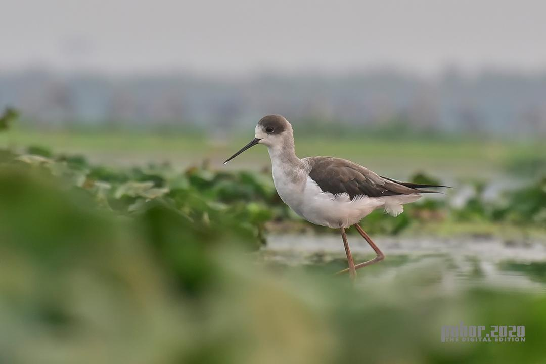 Wonders of the Wild_Rubul Deka_Black-winged Stilt