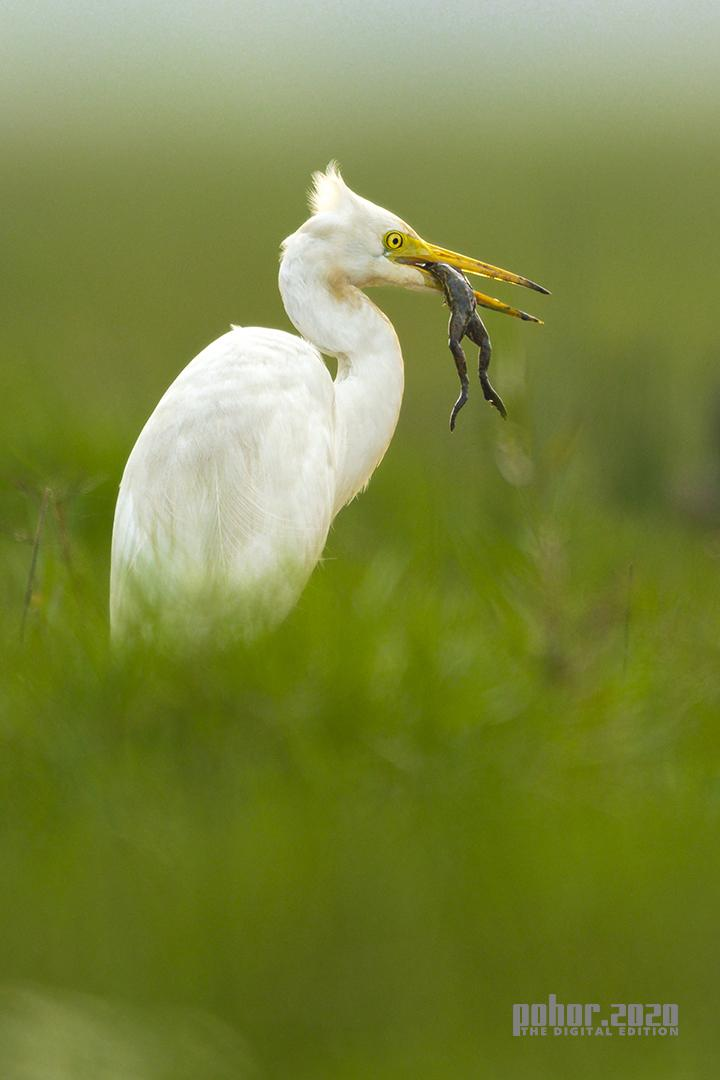 Wonders of the Wild_Soumya Ranjan Bhattacharyya_Egret With Frog