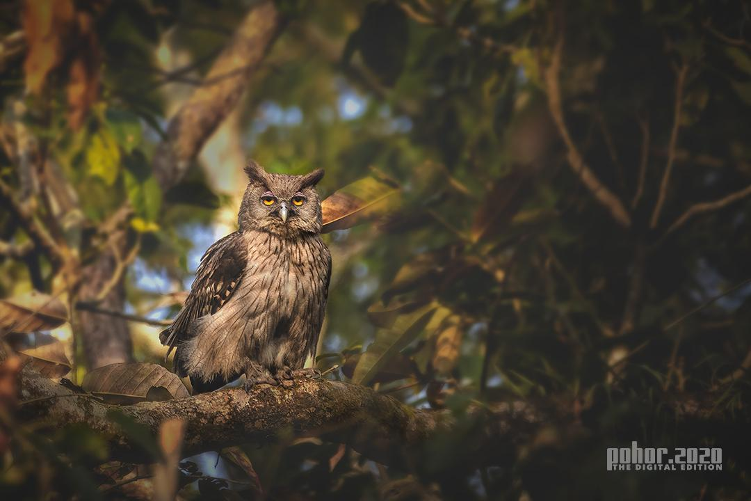 Wonders of the Wild_Surajeet Rajkhowa_DUSKY EAGLE OWL