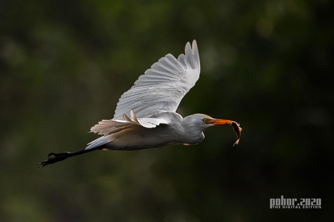 Wonders of the Wild_Surajeet Rajkhowa_EGRET WITH FISH