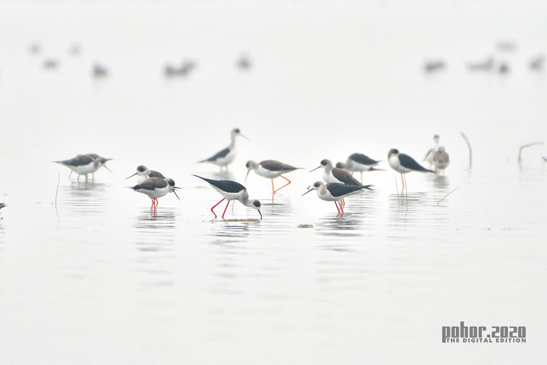 Wonders of the Wild_Tanvir Parves Ahmed_Black Winged Stilts