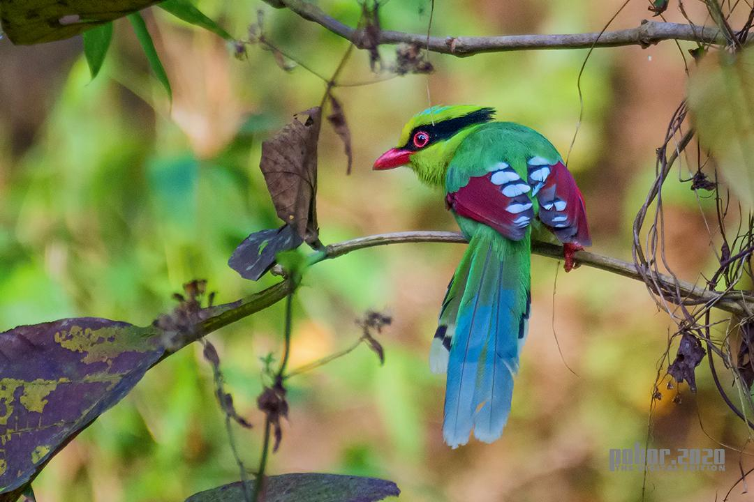 Wonders of the Wild_Ujjal Baruah_ COMMON GREEN MAGPIE