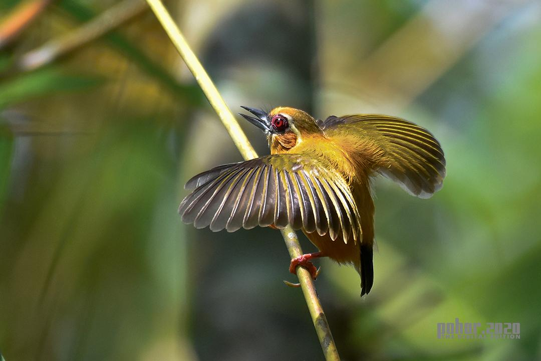Wonders of the Wild_Ujjal Baruah_WHITE BROWED PICULET